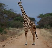 Giraffe by Barrie Johnson