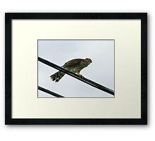 Juvenile Cooper's Hawk Framed Print