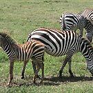 Zebras by Rhona