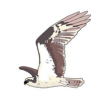 Osprey Bird by Krista Casal