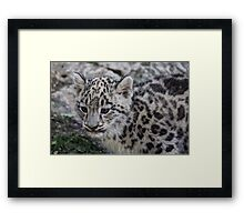 Baby Snow Leopard Framed Print