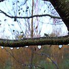 Dewdrops on Branch,  STRATTON, NR BUDE, CORNWALL, ENGLAND by kojobar
