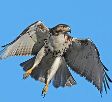 Red-tailed Hawk by photosbyjoe