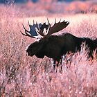 BULL MOOSE,YELLOWSTONE NP by Chuck Wickham