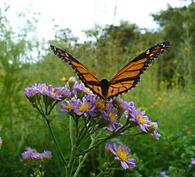 Monarch Taking Flight by spencerphotos