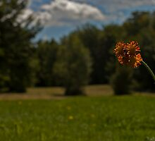 Indian Paintbrush by Kaitlyn  Squires