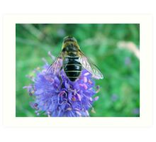 Hoverfly on knapweed Art Print