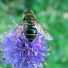 Hoverfly on knapweed by Bob Sagar