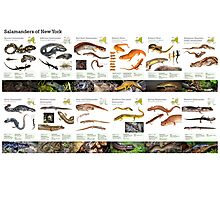 Salamanders of New York Photographic Print