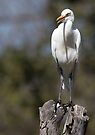 Cattle Egret by Steve Bulford