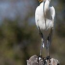 Cattle Egret by Steve Bulford