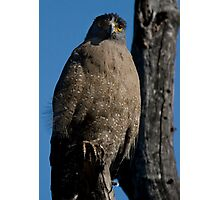Crested Serpent Eagle II Photographic Print