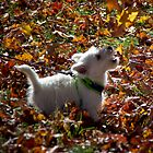 Jamie the Westie by KSKphotography