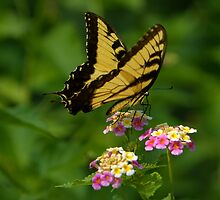 Tiger Swallowtail by Lisa G. Putman