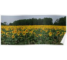 A Family of Sunflowers Poster