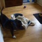 Diesel going loopy with his bed and blanket - he is a bed basher! by ducatirose