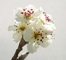 Pear Blossom  by Shara