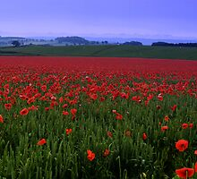 Poppy Field by b8wsa