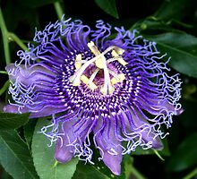 passion flower by Sheila McCrea