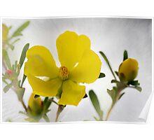Guinea Flower - Hibbertia riparia Poster