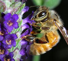 Honey Bee on Lavendar by Marie Terry