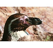Black-footed Penguin  Photographic Print