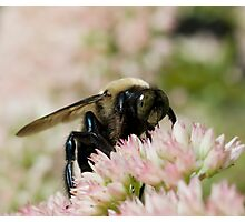 bee on sedum (2008) Photographic Print