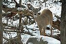 Whitetail Deer Doe in Snow by MotherNature