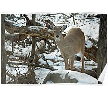 Whitetail Deer Doe in Snow Poster