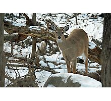 Whitetail Deer Doe in Snow Photographic Print