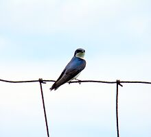 Swallow on a wire fence by Wabacreek Photography