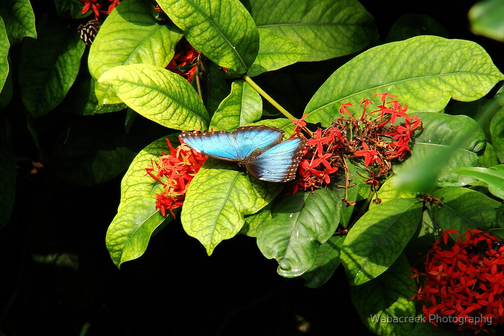 Blue butterfly 2 by Wabacreek Photography