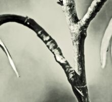 Tulip Poplar Empty Seed Heads - Black and White Sticker