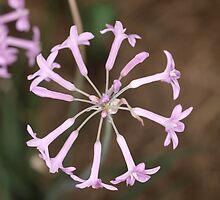 Garlic Chives by Tom McDonnell