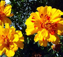Flowers In the Sun by Kimberly Miller
