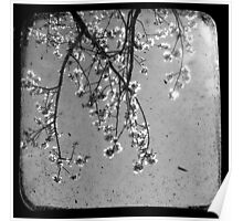 Blossoms in Black & White - Through The Viewfinder Poster