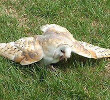 Barn Owl On The Ground by Richard Durrant