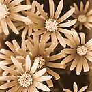Daisies in Sepia by JuliaWright