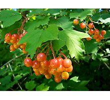 Berries Jubilee Photographic Print