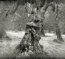 Old Olive tree by Marco Scataglini