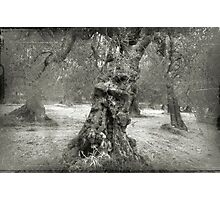 Old Olive tree Photographic Print