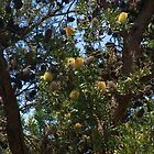Banksias by ndarby1