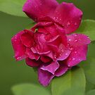 Red Rose by Paul Gitto