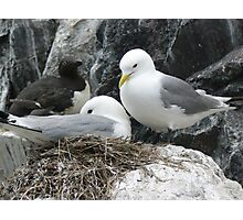 Kittiwakes on the Nest  Photographic Print