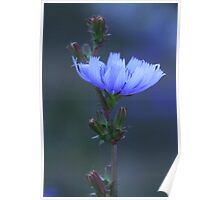 Chicory - 2014 Poster