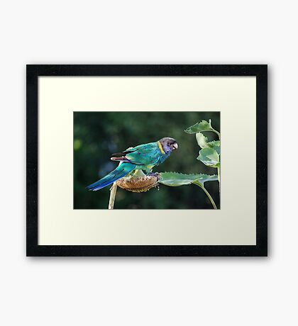 Are you watching me? - Port Lincoln Parrot Framed Print