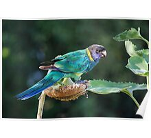 Are you watching me? - Port Lincoln Parrot Poster