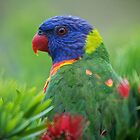 Rainbow Lorikeet  by D-GaP