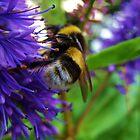 Bumblebee by cromerpaul