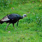 The American Wild Turkey by Jim Caldwell